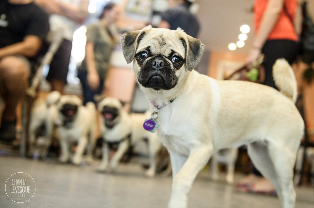 pugs-doggy-cafe-montreal