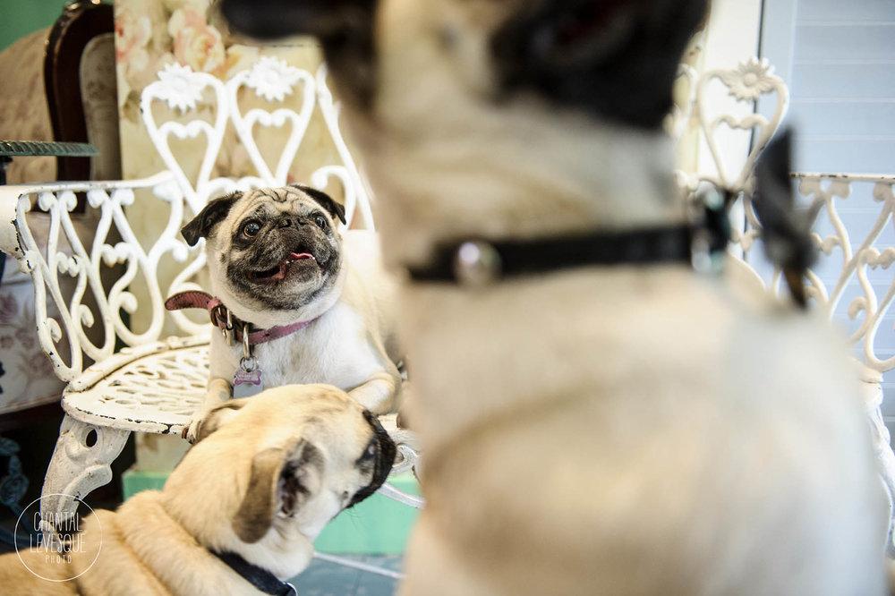 Doggy-casting-pug-boston-5211.jpg