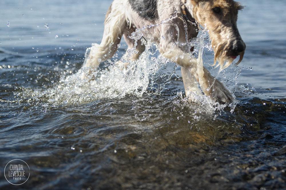 fox-terrier-water