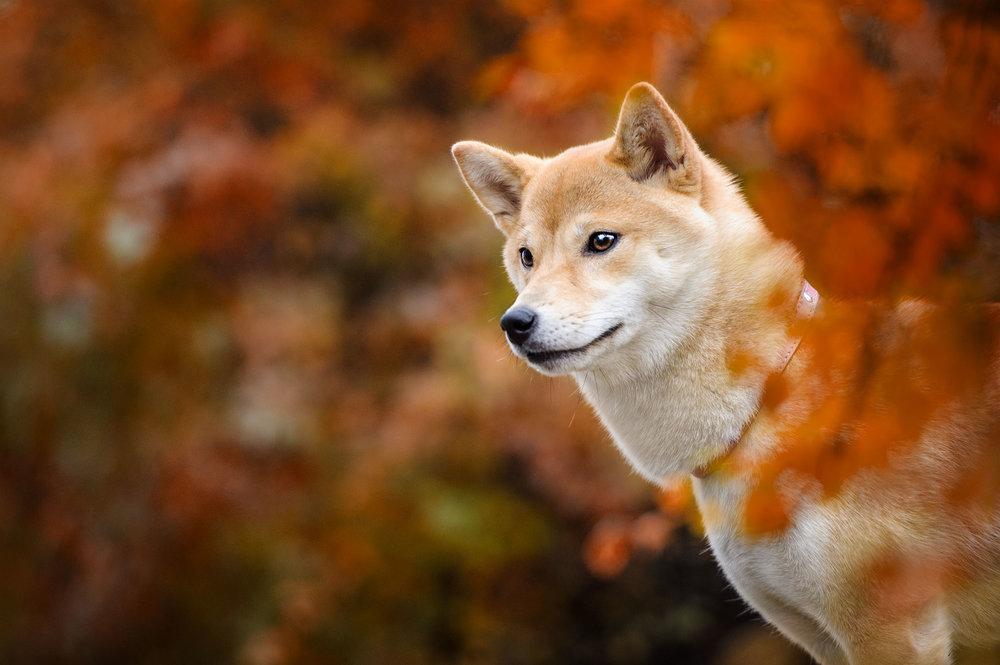 Shiba-Inu-fall-montreal-6897.jpg