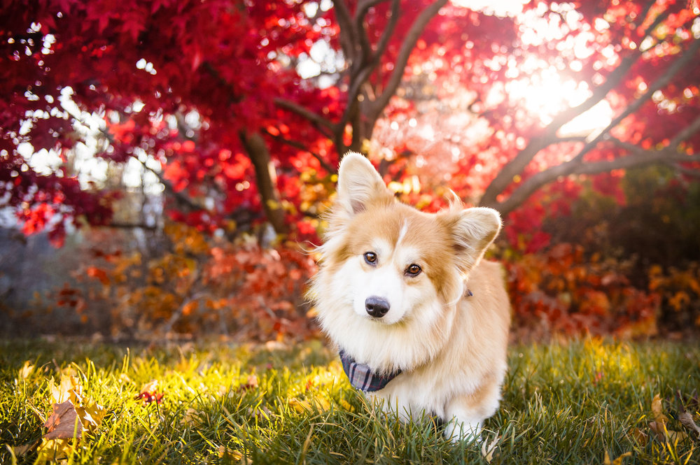 corgi-fall-photography-montreal5246.jpg