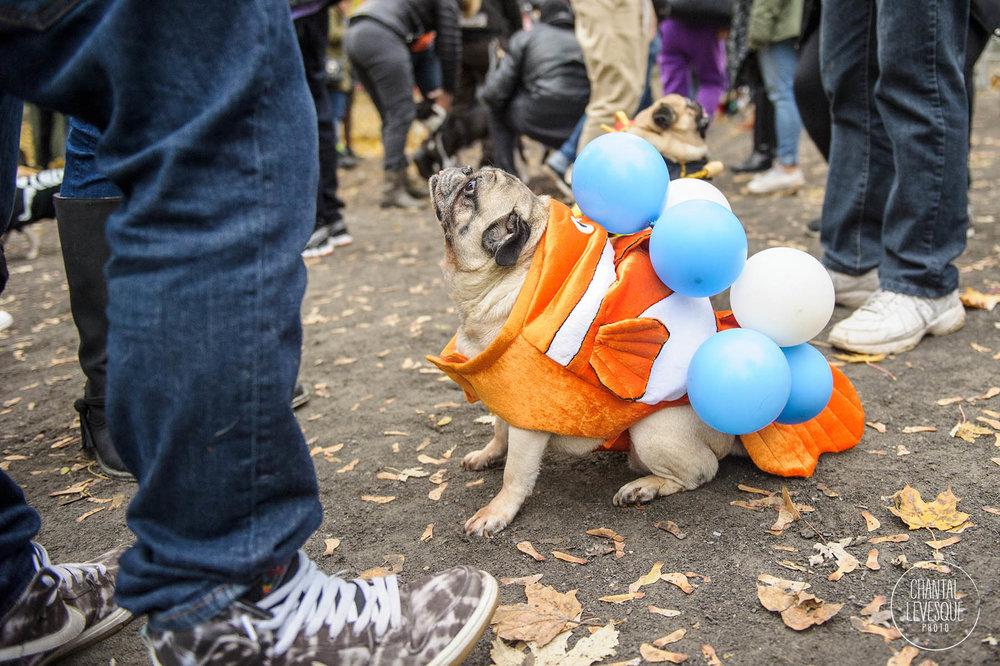 Pug-Halloween-montreal.jpg
