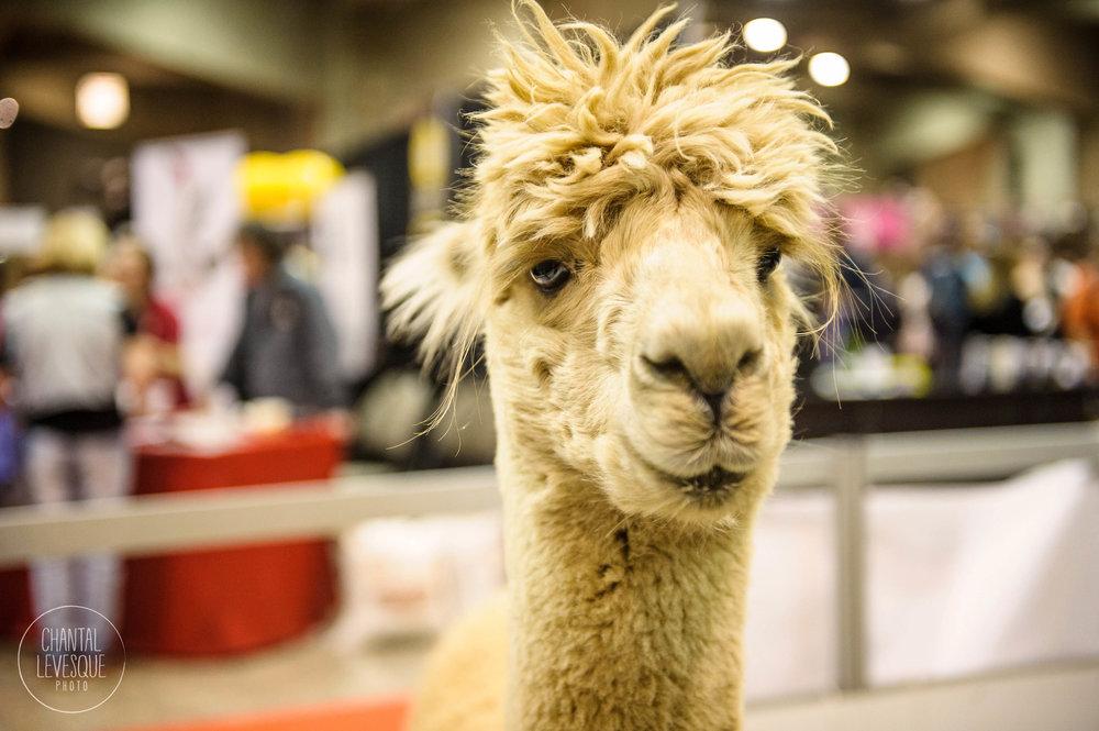 alpaca-photographe-SNAC