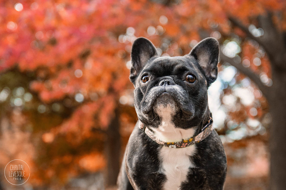 french-bulldog-montreal-photography