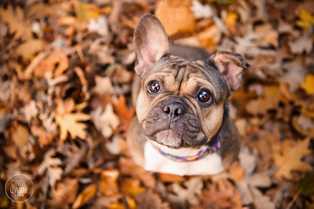 french-bulldog-fall-leaves.jpg
