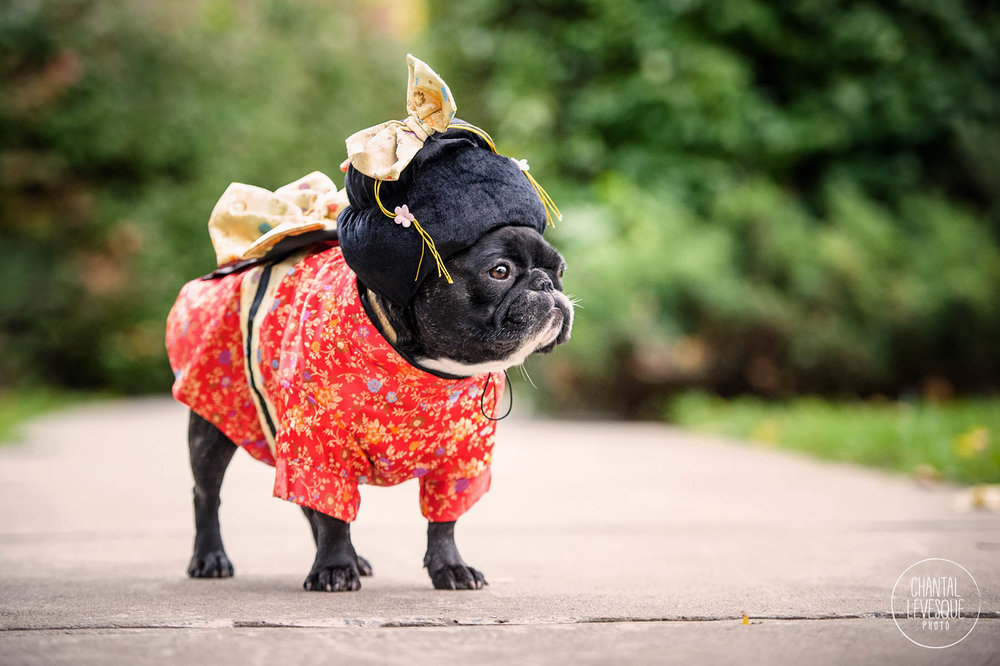 frenchie-halloween-costume-geisha.jpg