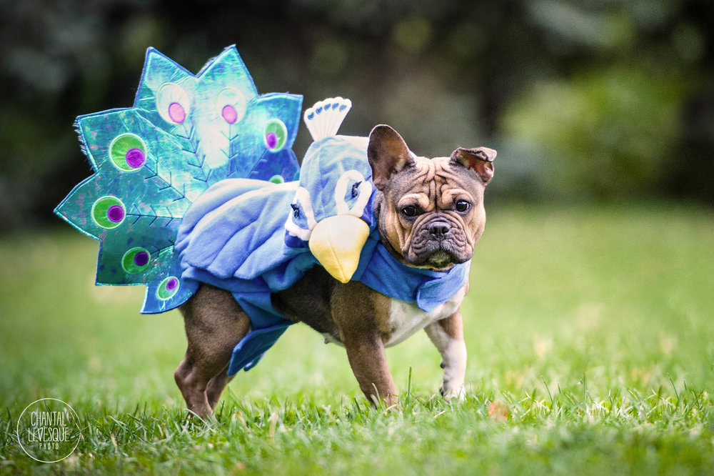 french-bulldog-bird-costume-halloween.jpg
