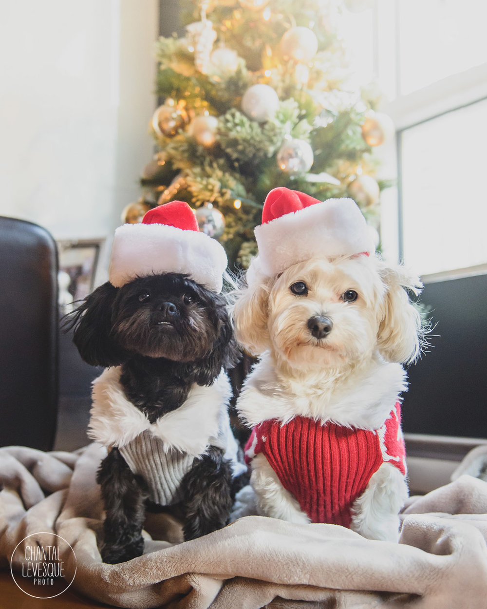 dogs-xmas-montreal-photography.jpg