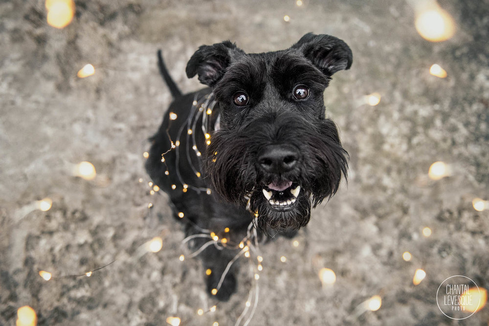 dog-postrait-christmas-lights.jpg