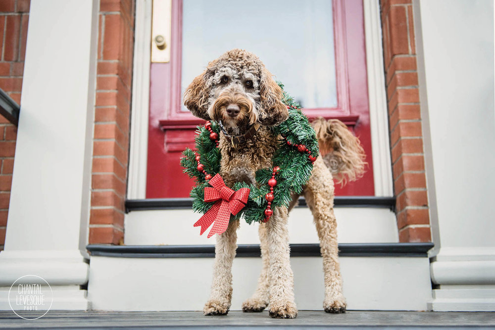 dog-christmas-wreath-montreal-photographer.jpg