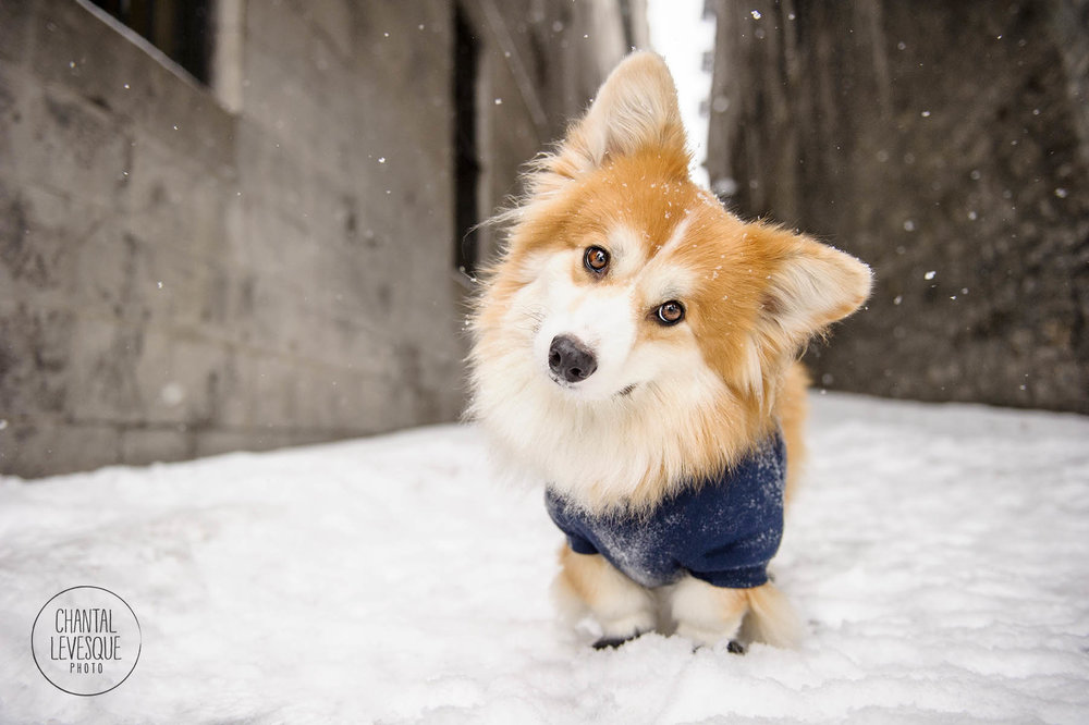 corgi-winter-photo-old-montreal.jpg