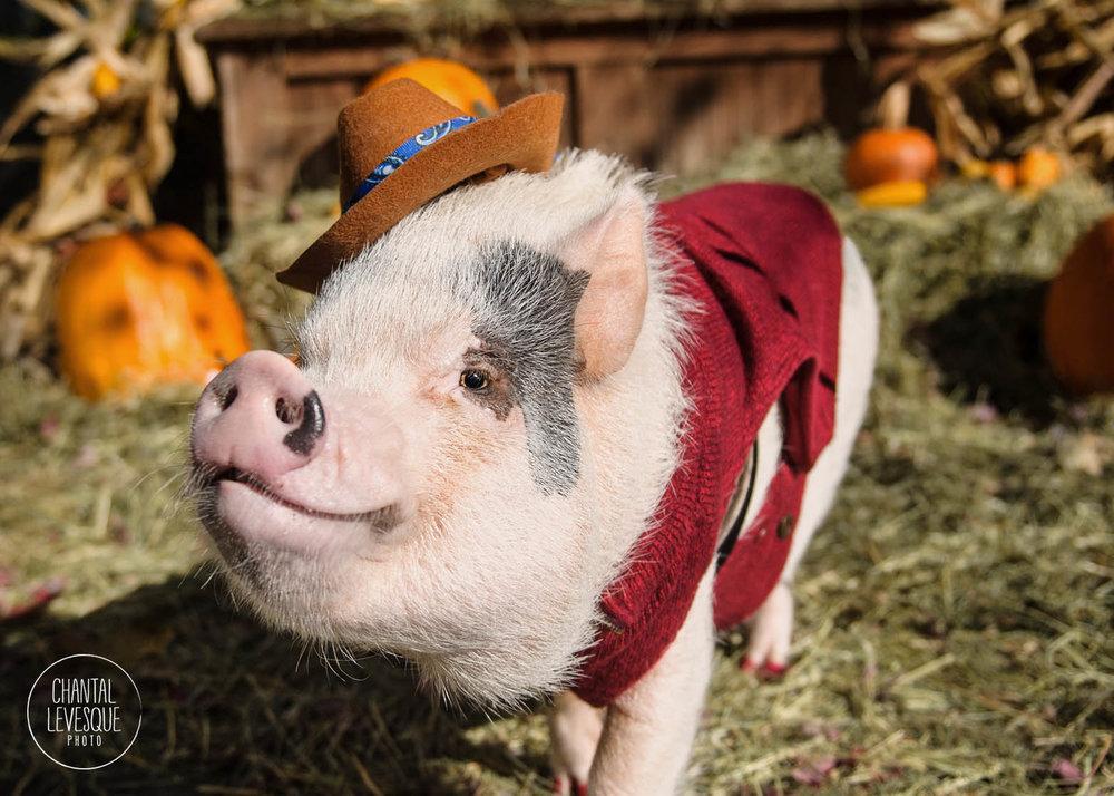 photographe-cochon-montreal.jpg