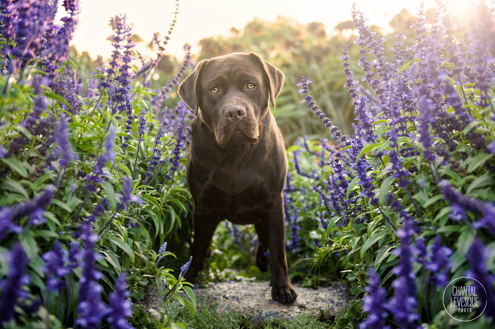 labrador-retriever-portrait-flowers.jpg
