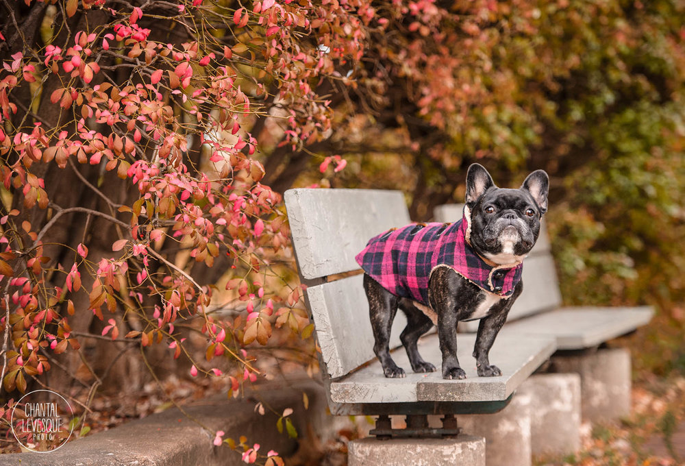 french-bulldog-fall-fashion.jpg