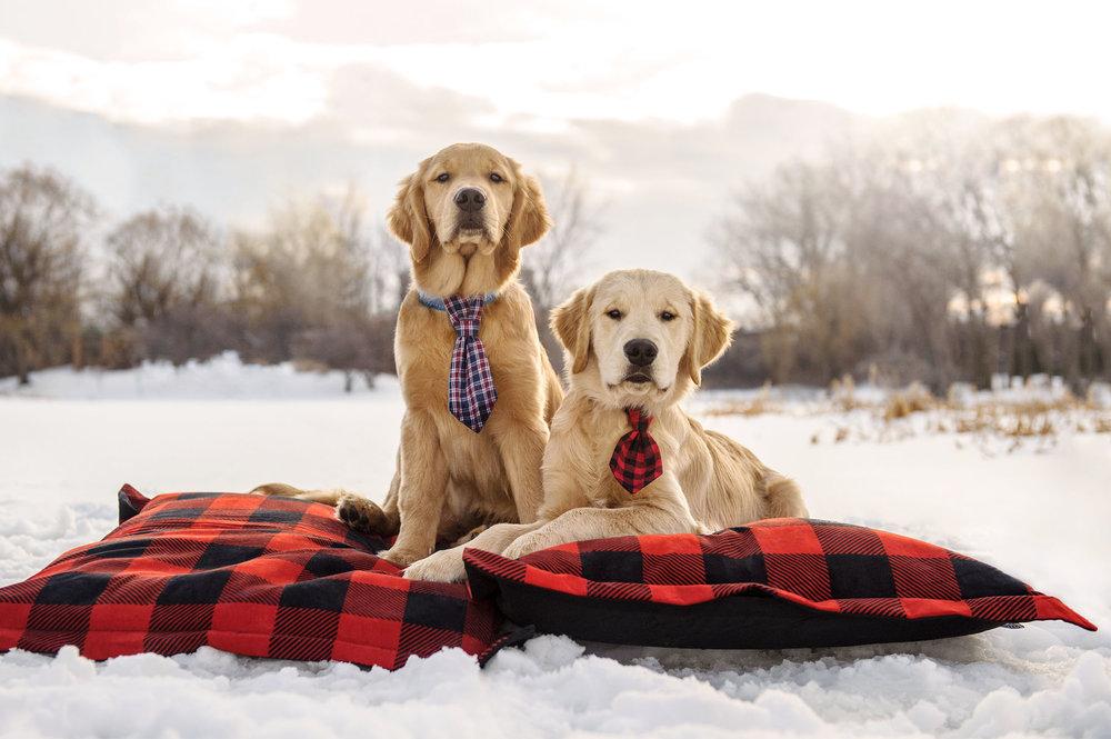 golden-retriever-puppies-2917.jpg