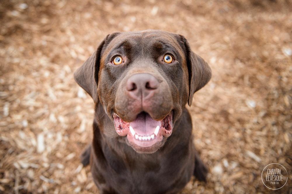 labrador-sourire-photographe-montreal.jpg