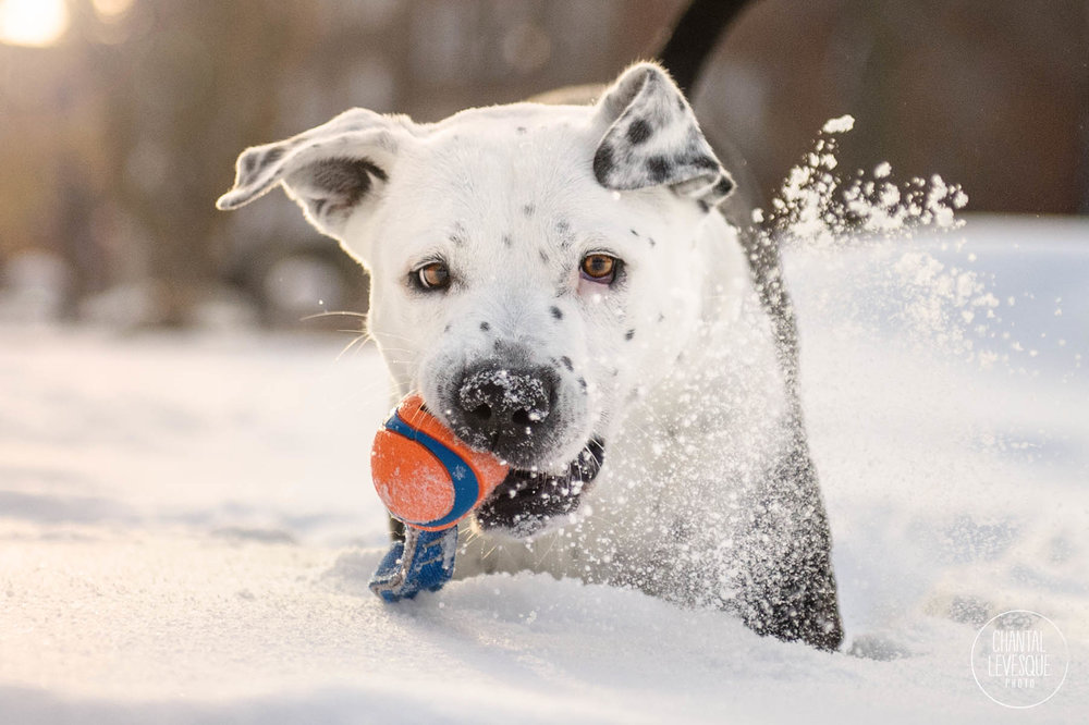 pitbull-ball-snow-photography-montreal.jpg