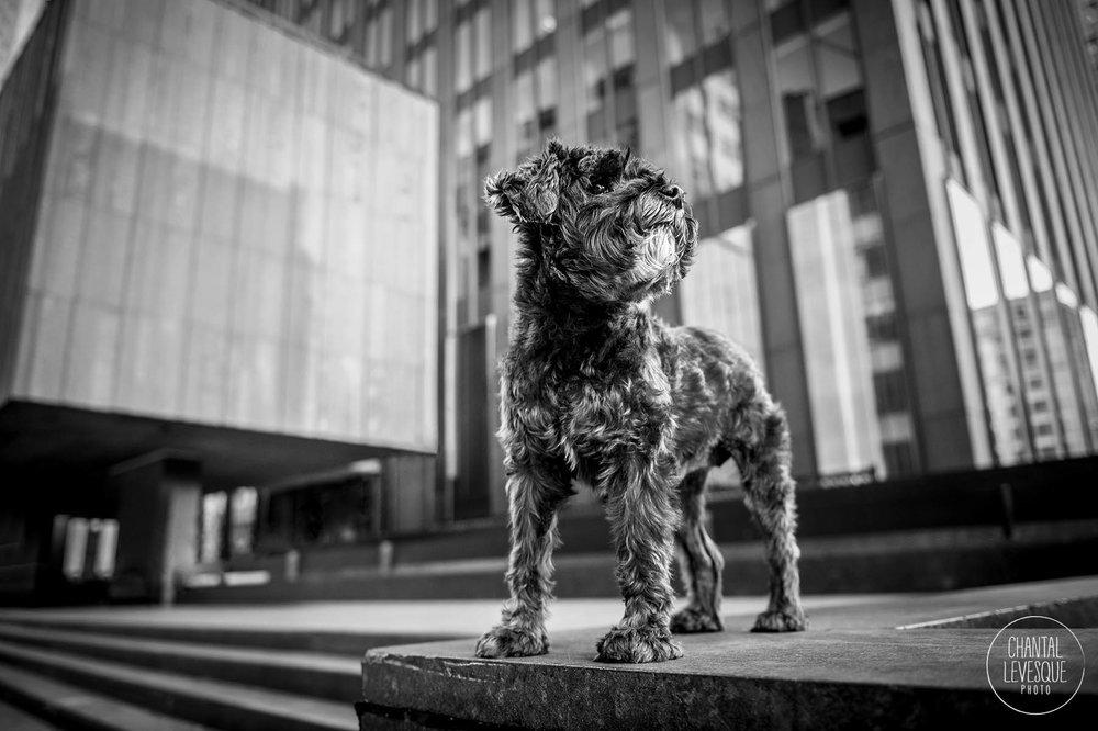 photographe-chien-urbain-mtl.jpg