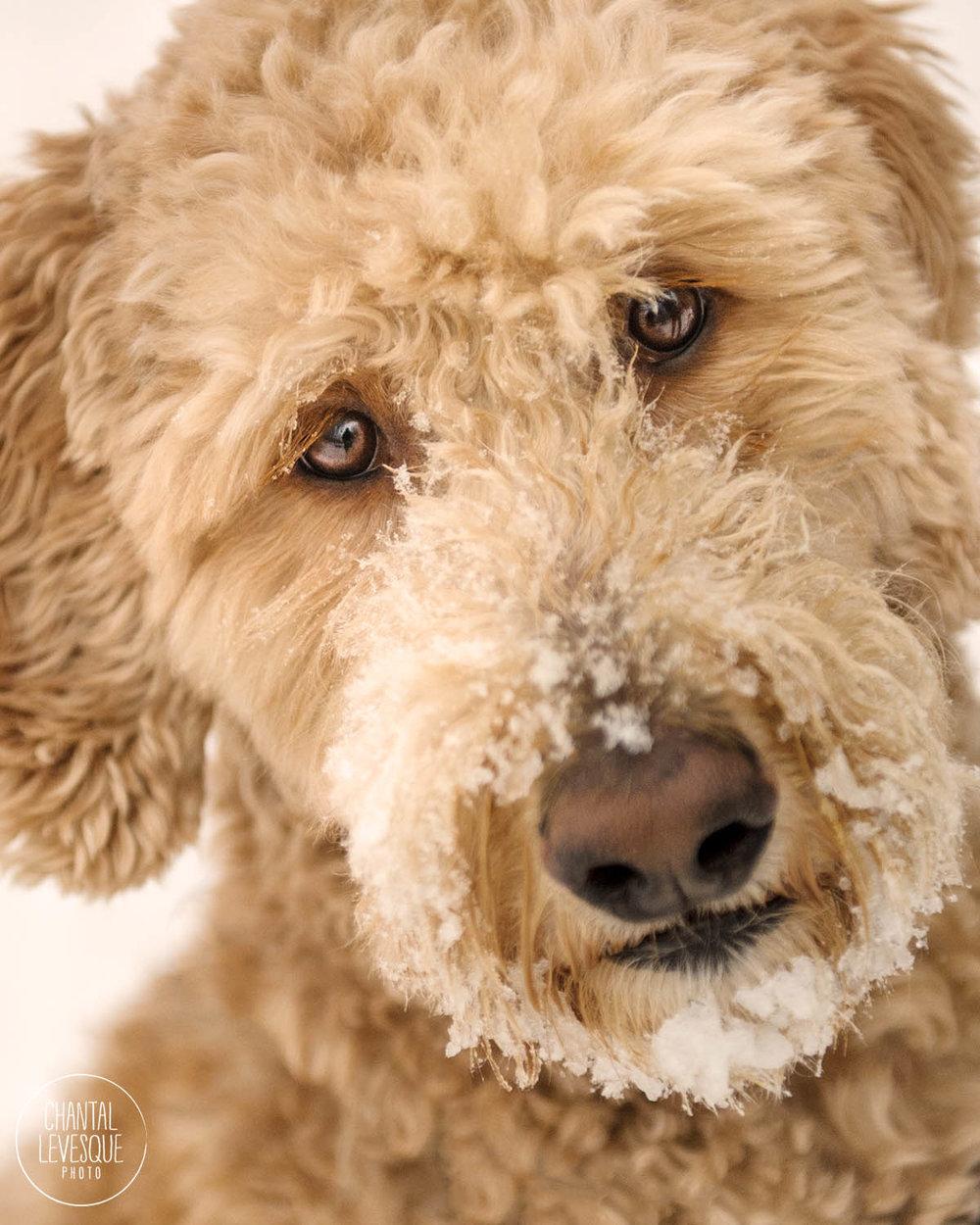 winter-portrait-dog-quebec.jpg
