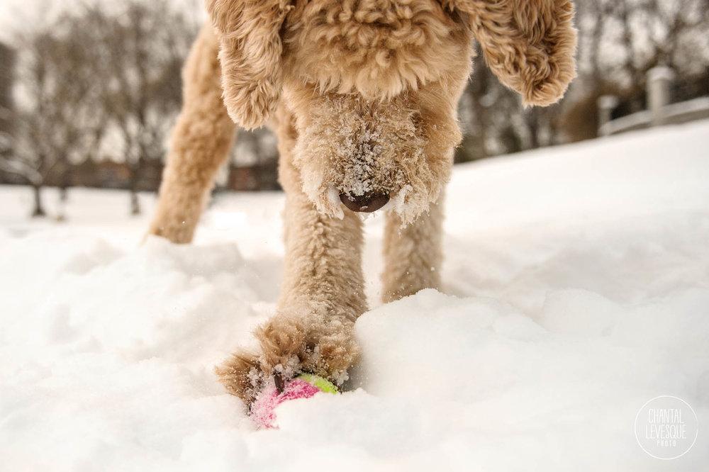 chien-joue-neige-quebec-photographie.jpg