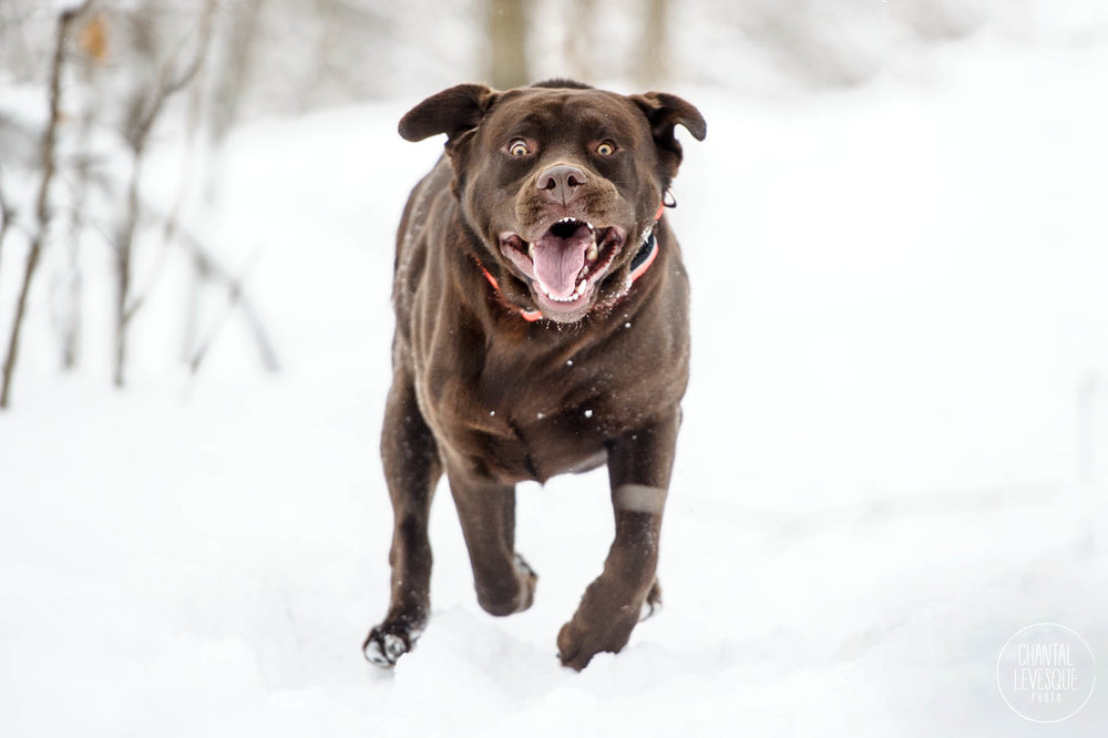 labrador-action-photography-winter-montreal.jpg