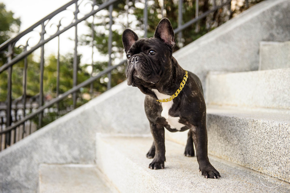 french-bulldog-old-montreal.jpg