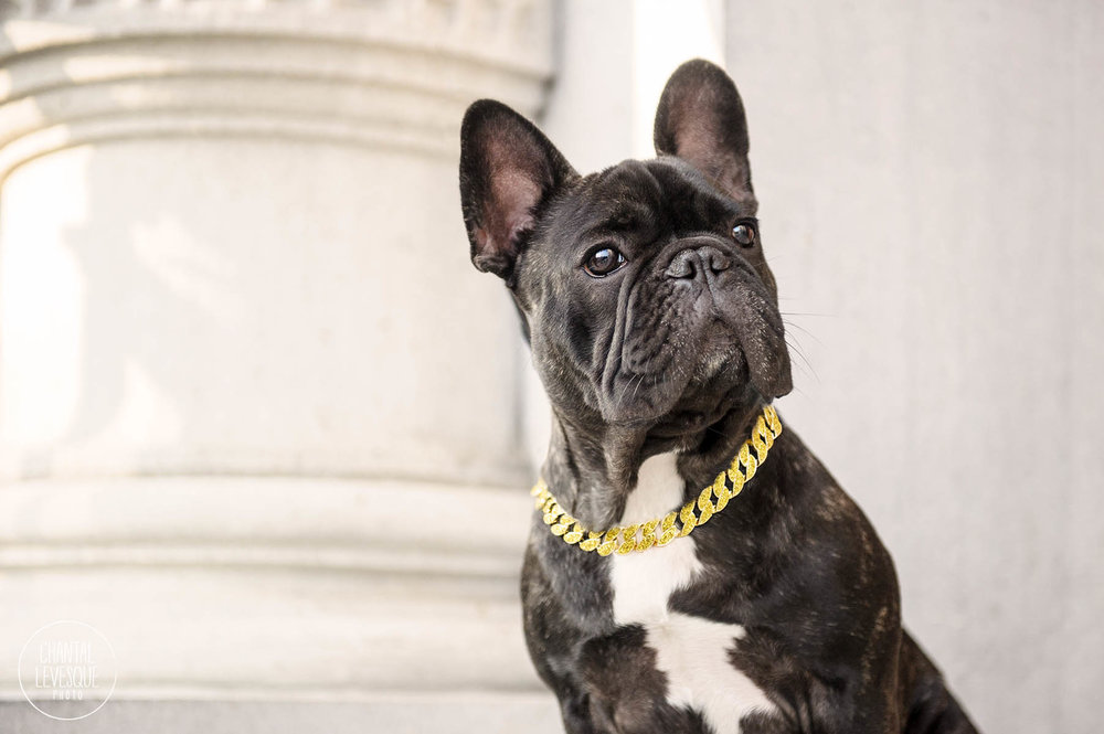 frenchie-portrait-fashion.jpg