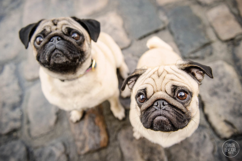 two-pugs-photography.jpg