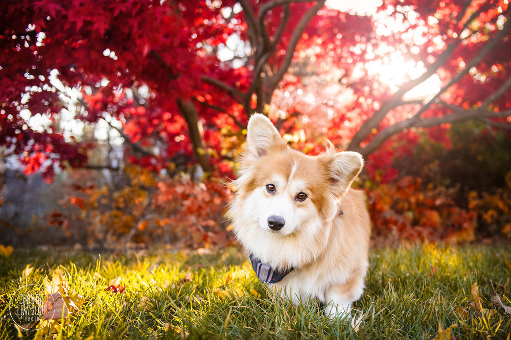 fall-sunrise-corgi-portrait-montreal.jpg