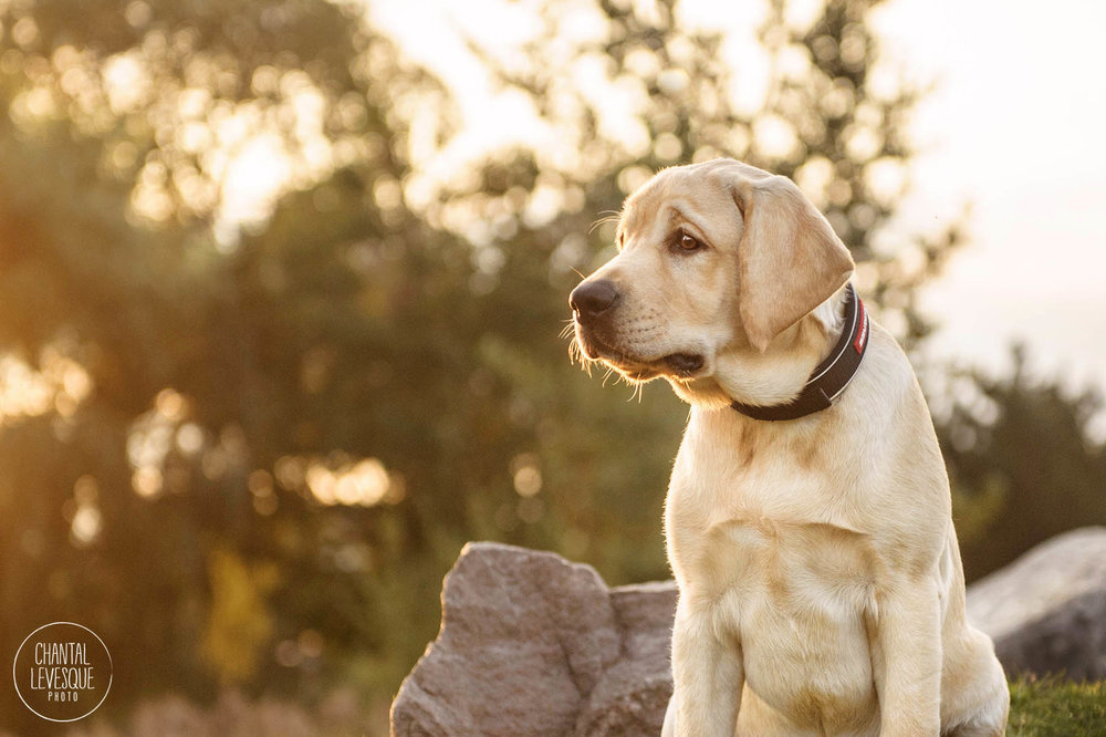 labrador-puppy-sunrise-photography.jpg