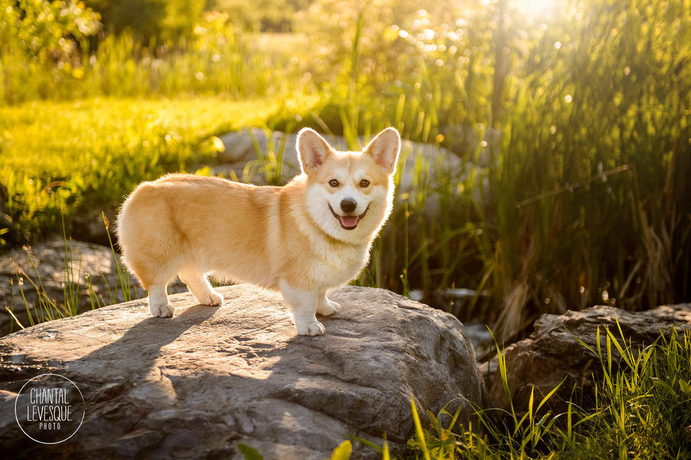 Clarence-corgi-sunset-photo-session-mtl.jpg