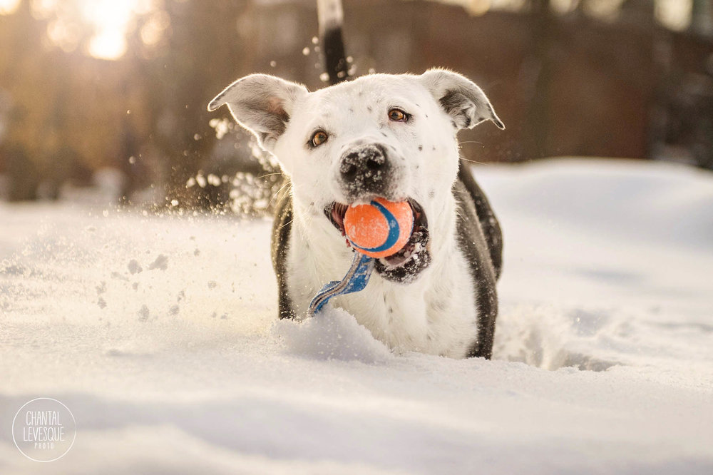 sunset-snow-photo-session-pitbull-montreal.jpg