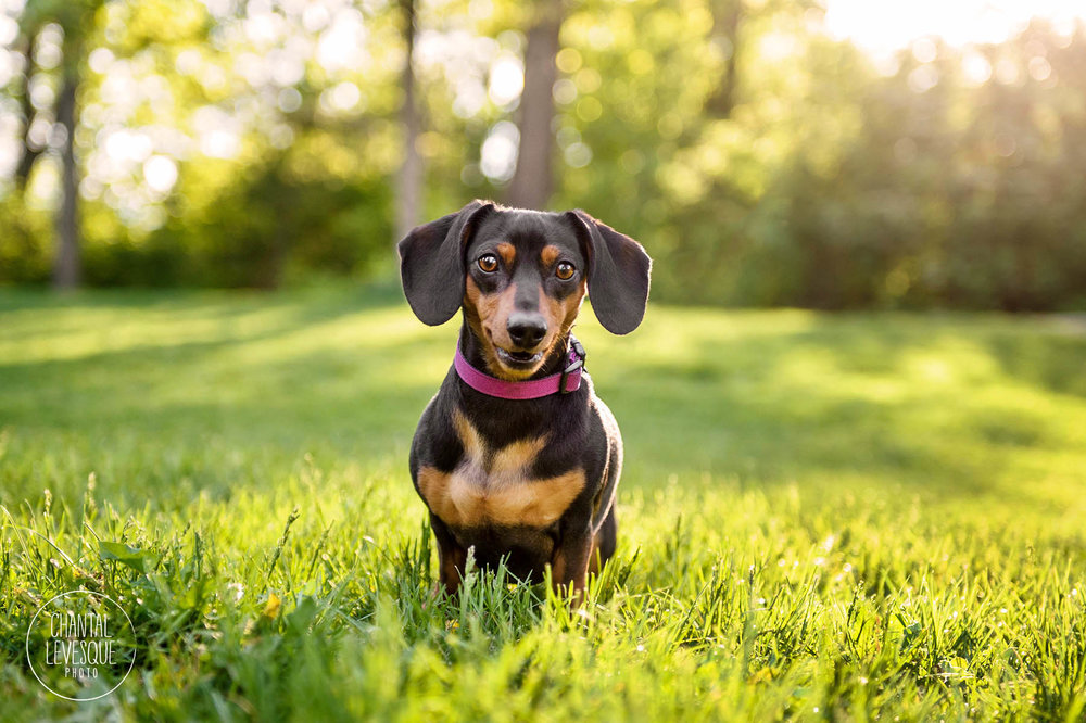 daschund-smile-photography-mont-royal.jpg