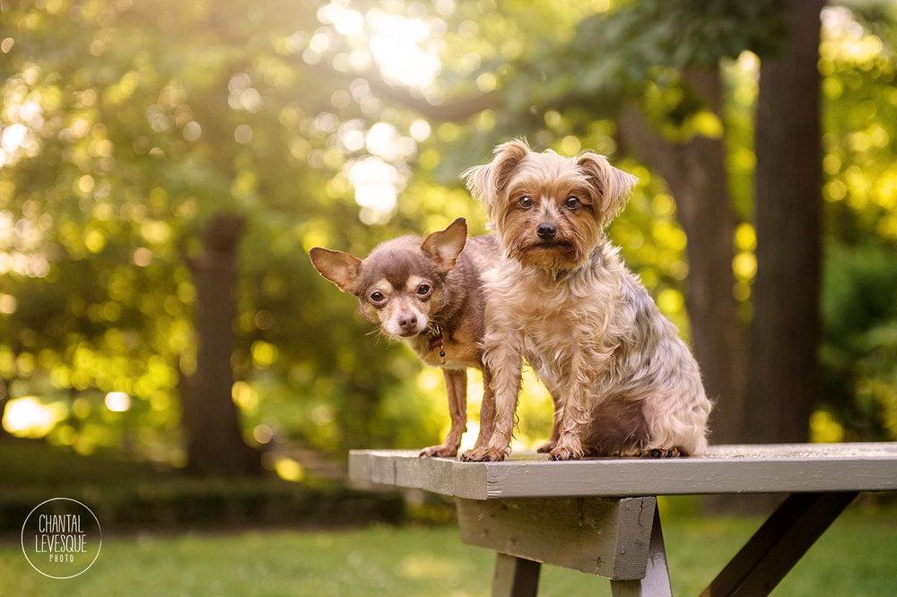Yorkie-Chihuahua-photographe-professionnelle.jpg