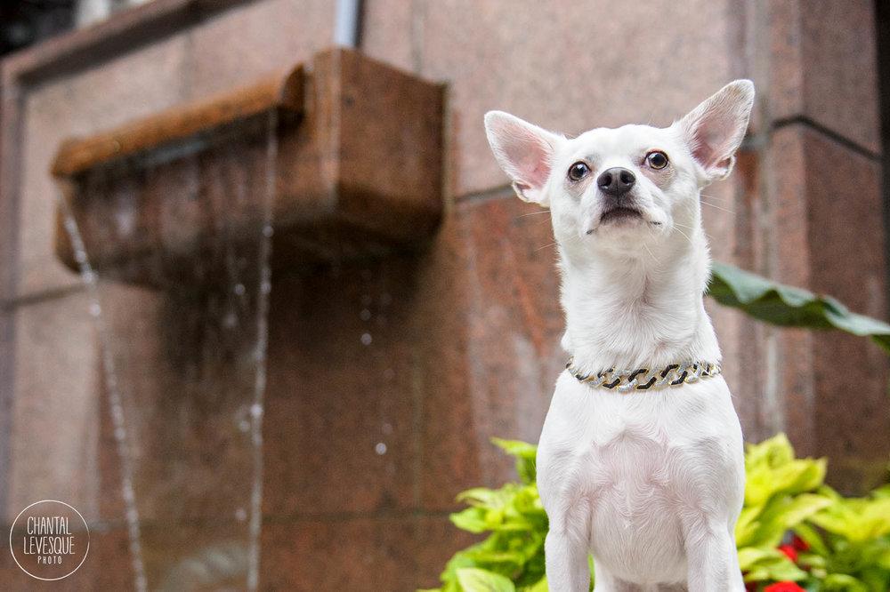 chihuahua-photographer-montreal.jpg