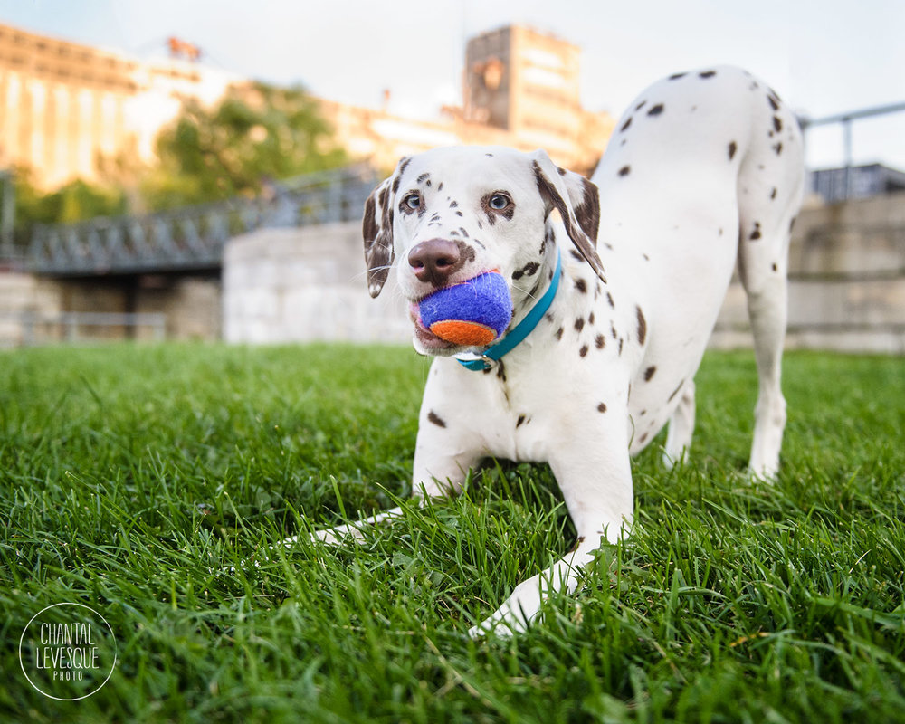 dog-playing-photography-montreal.jpg