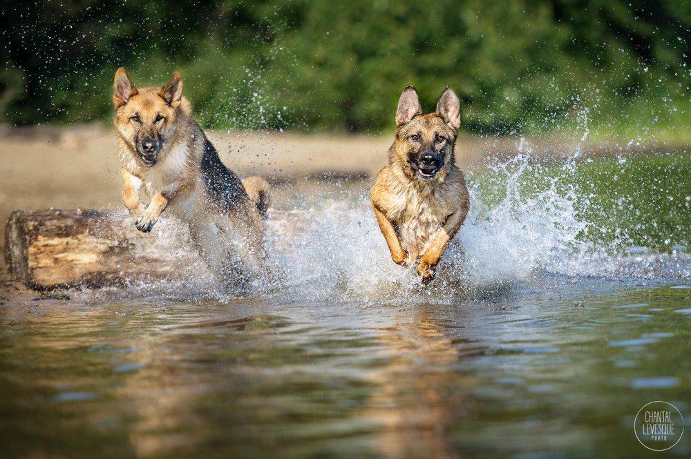 German-shepherd-water-8604-web.jpg