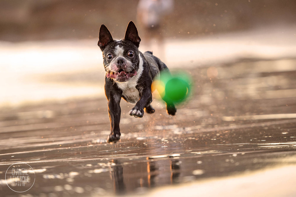 boston-terrier-play-ball-ocean-photo.jpg