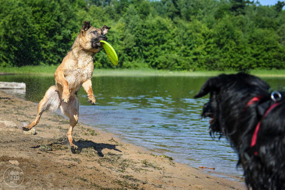 Kaiser qui attrape avec grâce et élégance son frisbee