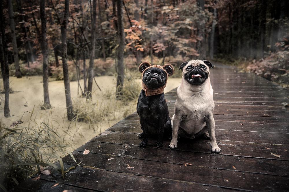 halloween-pugs-3870.jpg