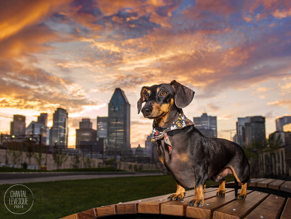 sunset-city-wiener-dog-portrait.jpg