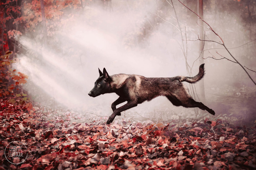 dog-jump-foggy-woods-fall.jpg