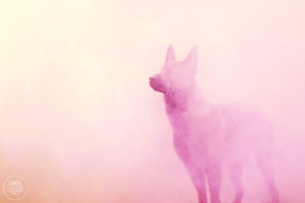 shepherd-pink-smoke-photo.jpg