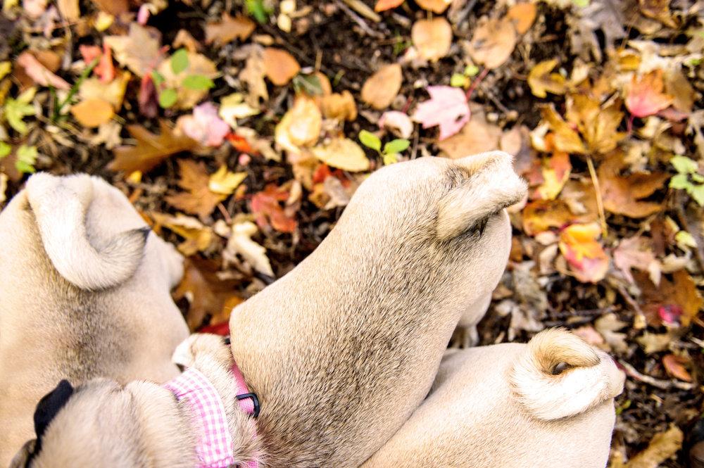 steph-pugs-4775.jpg