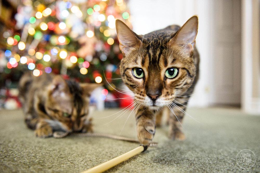 Bengal-cats-Christmas.jpg