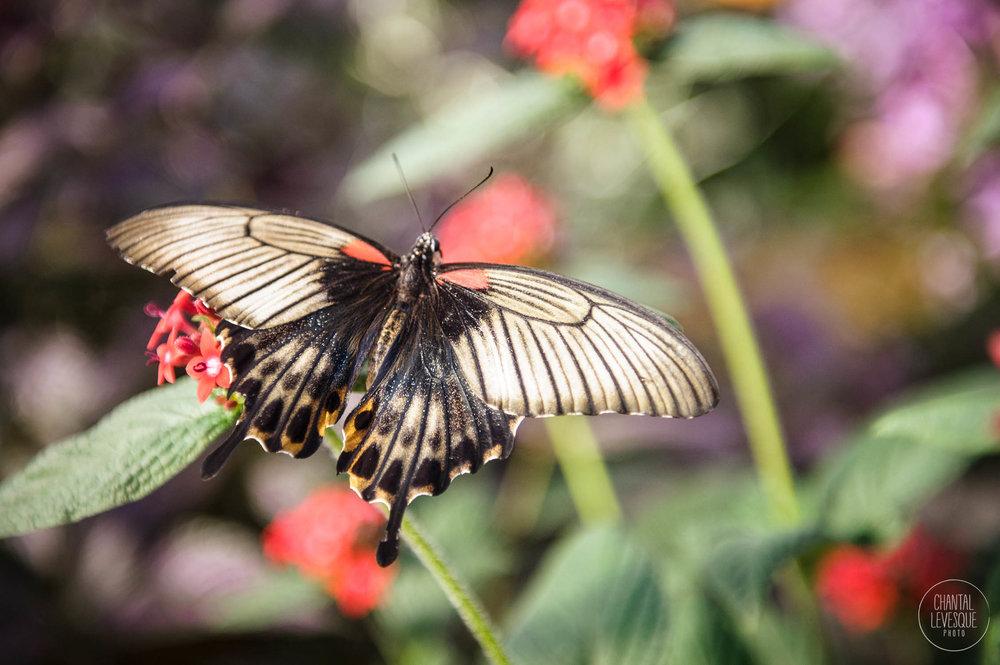 papillons-3459 copy.jpg