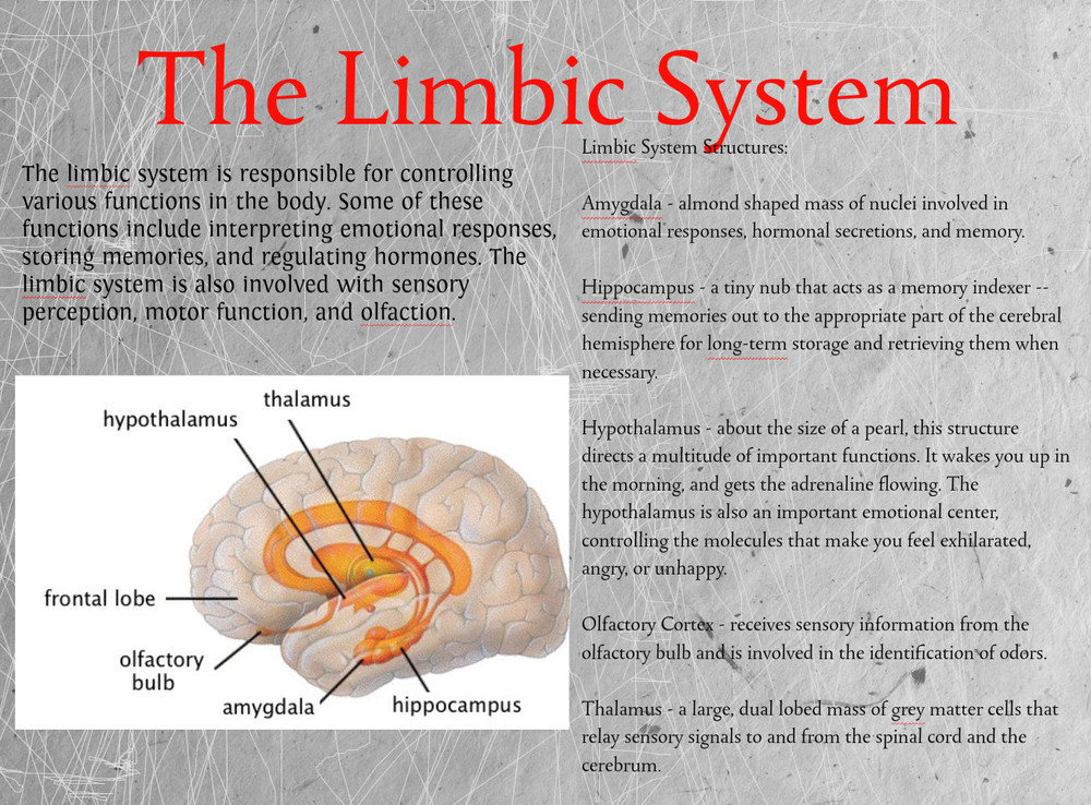 FAQs Sambuca Modern ApothecaryLimbic System Function