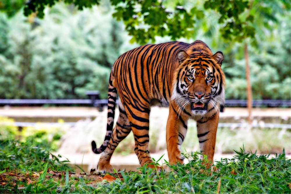 sumatran-tiger-tiger-big-cat-stripes-46251.jpeg