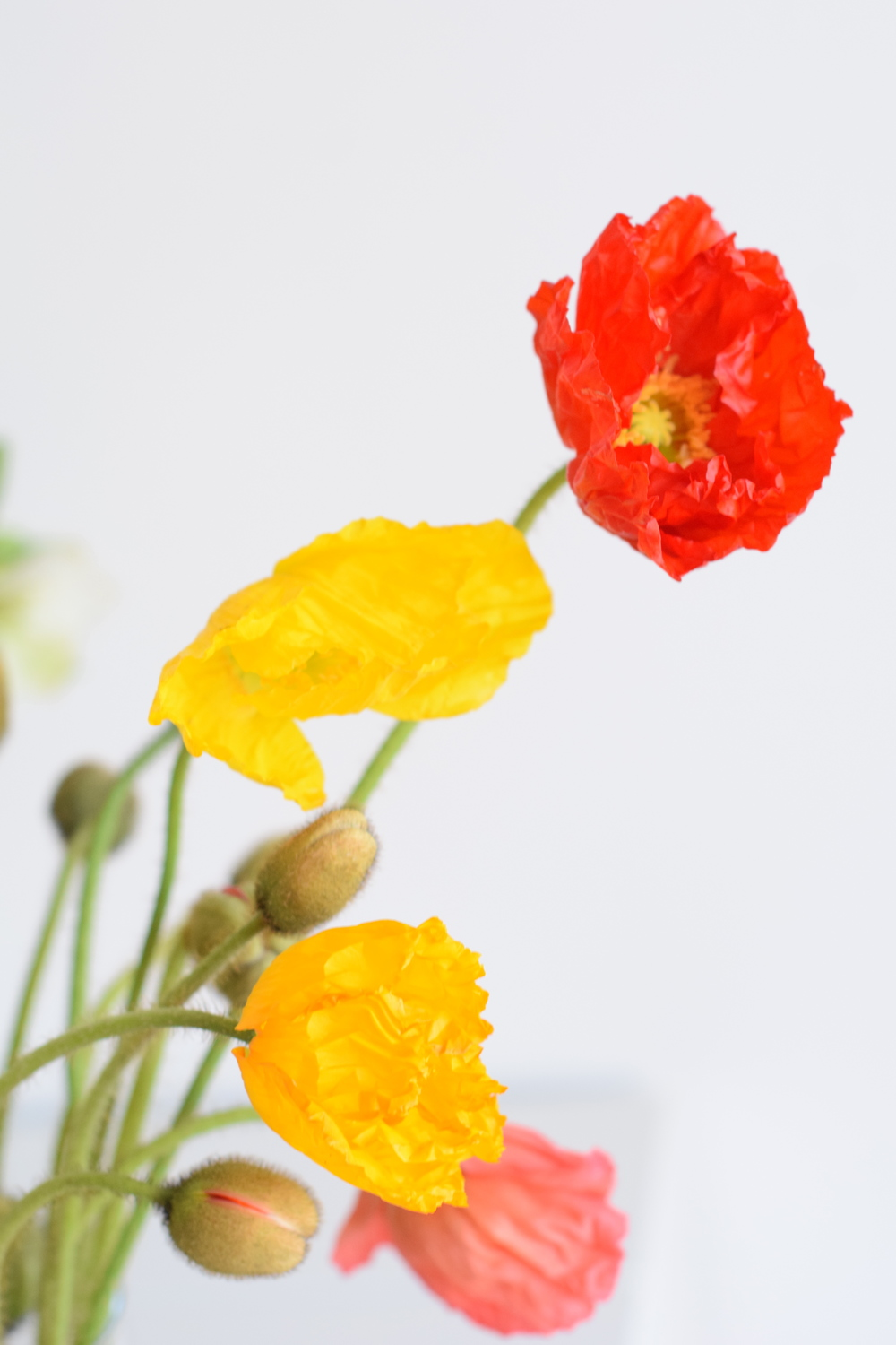 Yellow & Red Poppies blooming in our studio. Maxit Flower Design in Houston, TX.