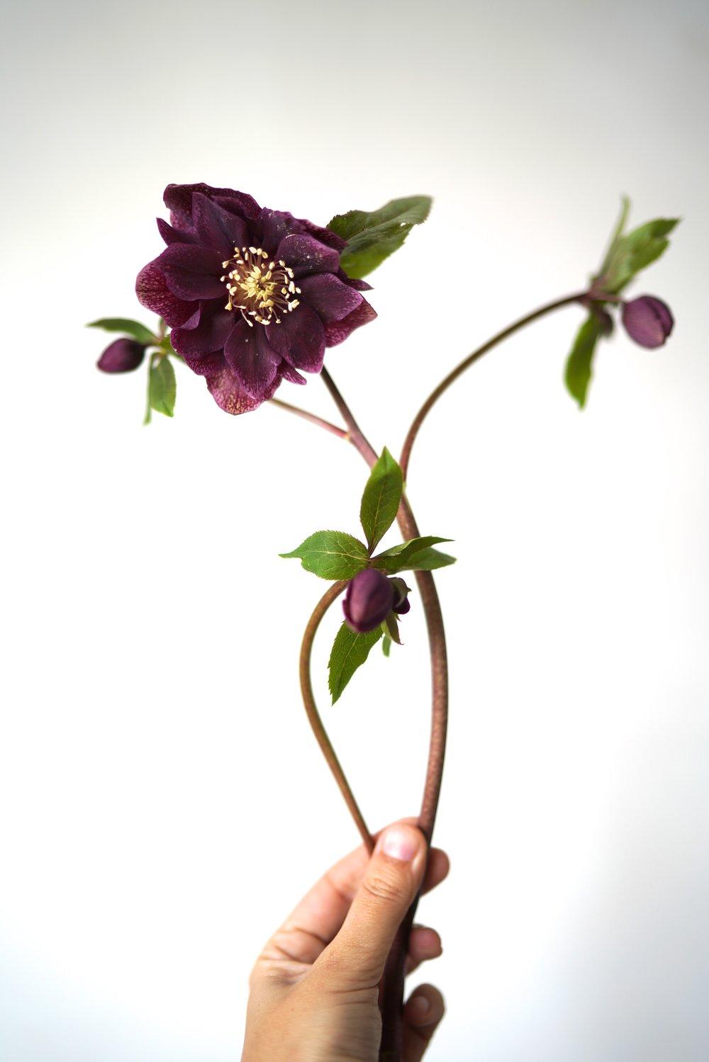 Deep purple hellebore, single stem. Wedding and Event flower. Maxit Flower Design